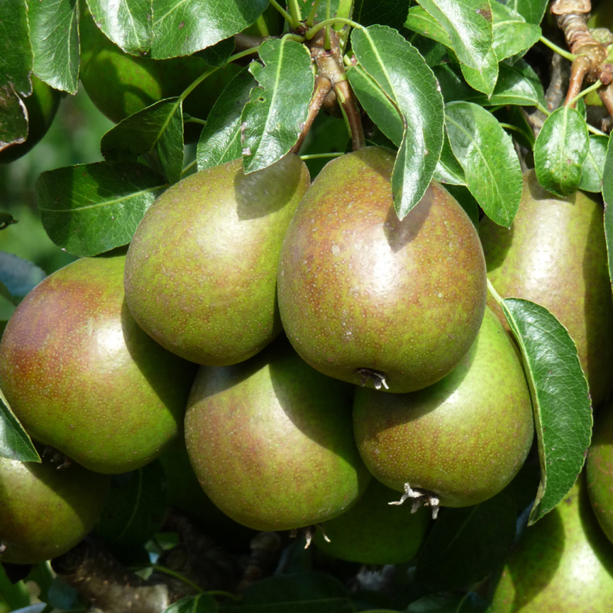 Louise Bonne of Jersey Pears